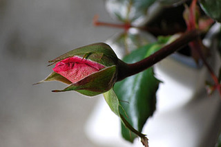 rose7331.jpg